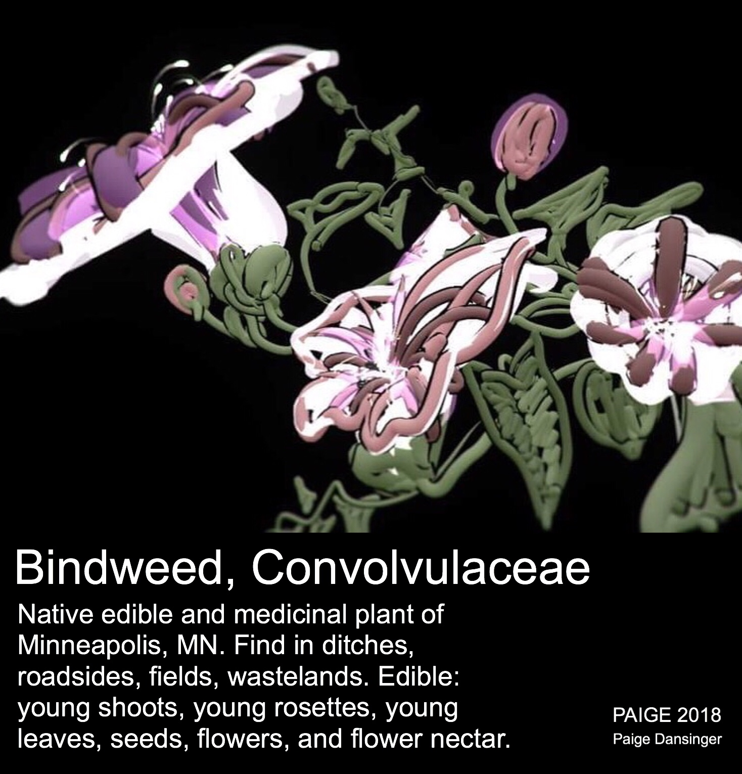 Bindweed, Convolvulva. After Lady Wilkinson's Weeds & Wildflowers, 1885.