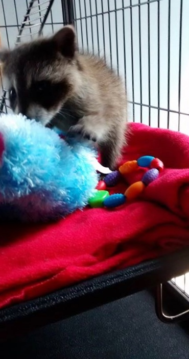 It's important to provide toys and things to snuggle for orphaned and rescued babies in our wildlife program