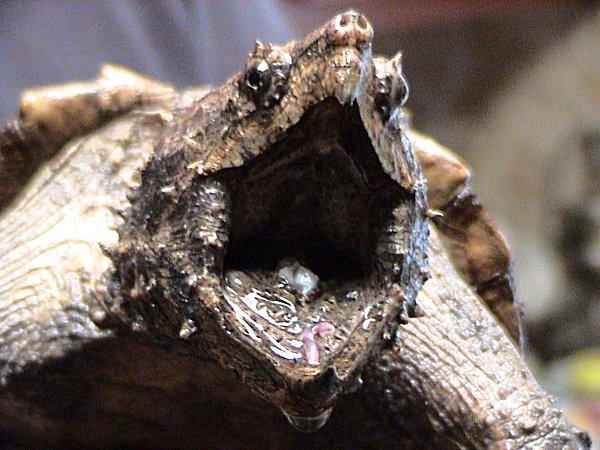 By LA Dawson - Animal courtesy of Austin Reptile Service