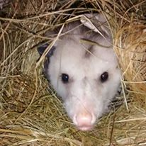 Romeo - one of our education opossums