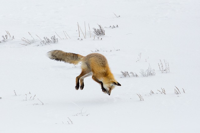 fox-3834331_640.jpg