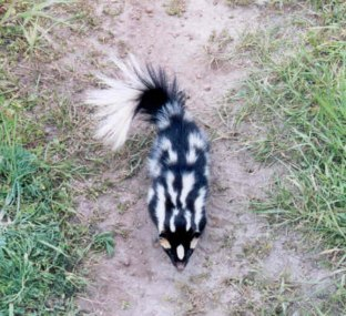 Spotted Skunks are not as common in Kentucky -