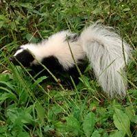 skunks.jpg