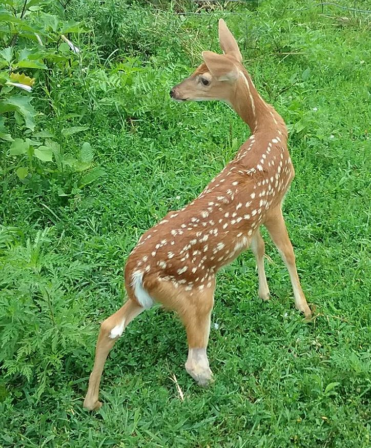 One of our success stories. Daisy deer had to have an emergency leg amputation. She learned to run and jump and was able to be set free on the farm. We are so proud of her! Photo: Ame Vanorio