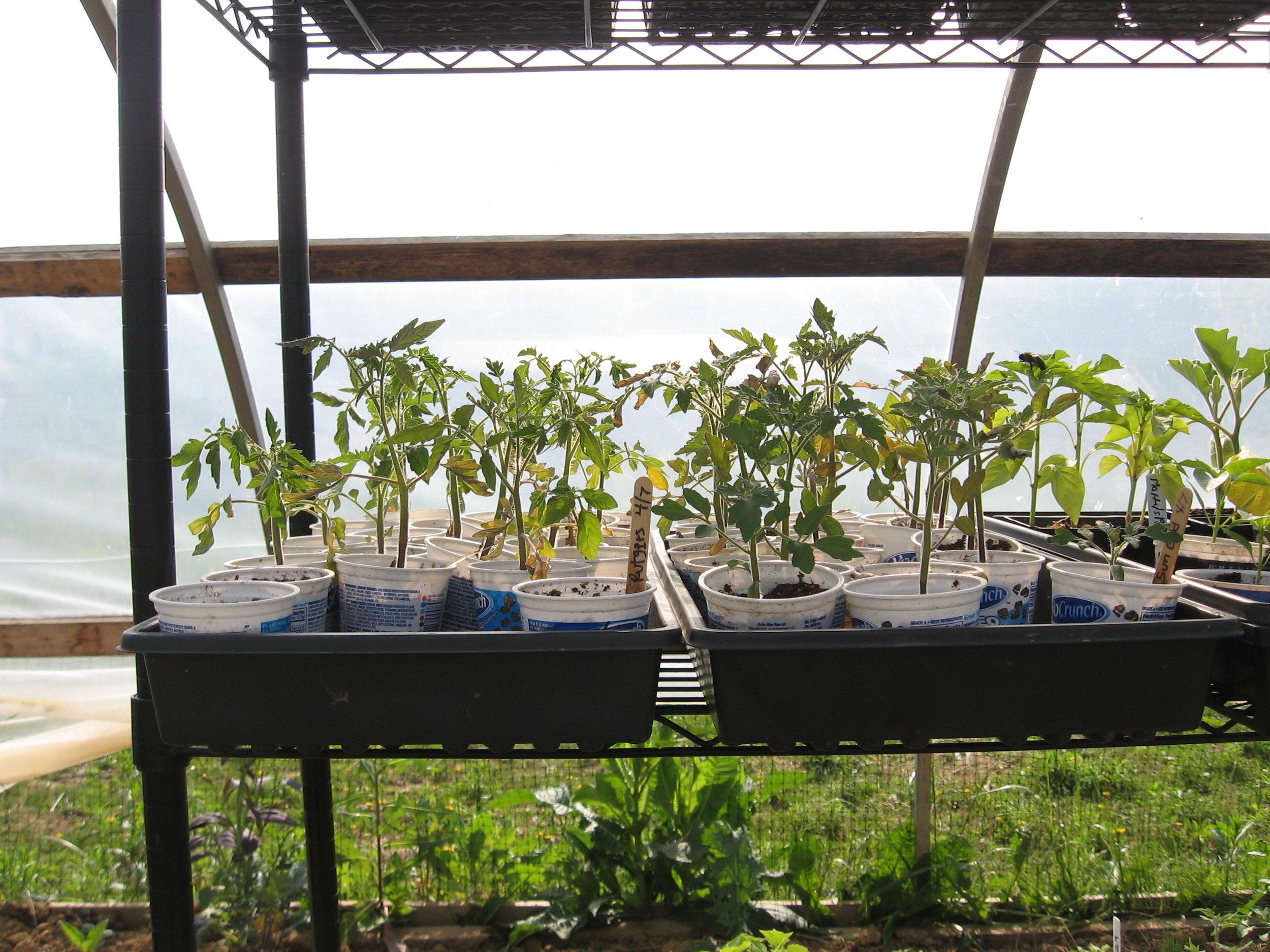 Tomato seedlings at Fox Run Environmental Education Center