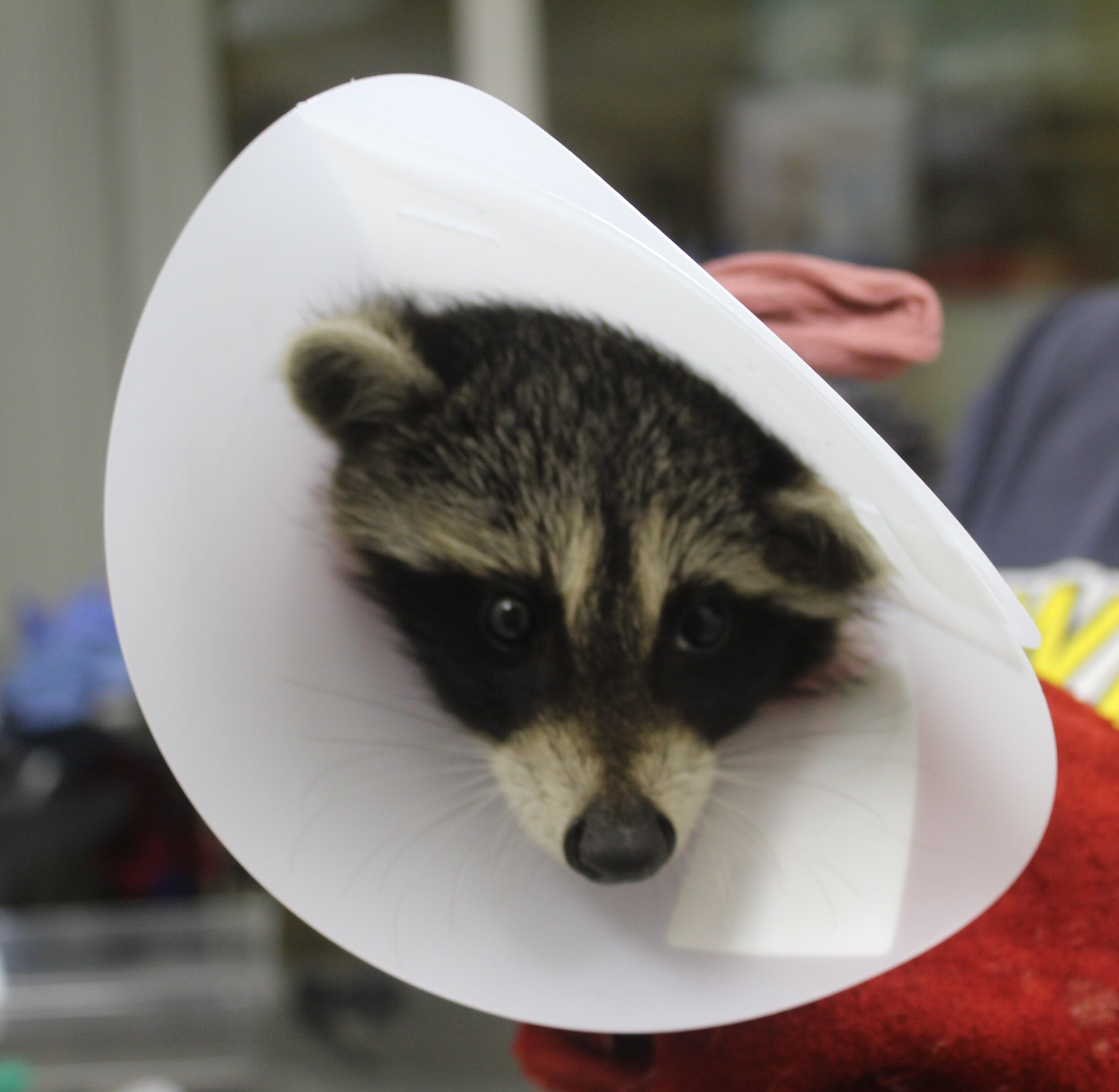 Getting medical treatment for a raccoon hit by a car at Fox Run