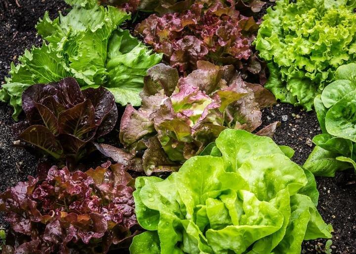 lettuce-varieties.jpg
