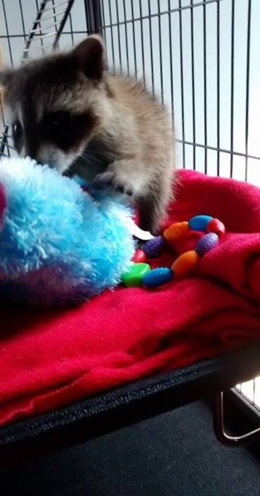 Raccoons in rehabilitation need lots of toys to stimulate their brains and keep them emotionally healthy.