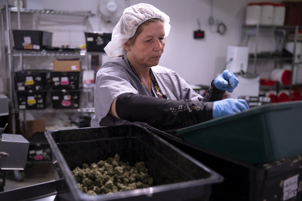 Angie Moreland trims marijuana buds at Cresco Labs medical marijuana cultivation facility Wednesday, August 8, 2018, in Joliet, Ill. (Erin Hooley/Chicago Tribune)