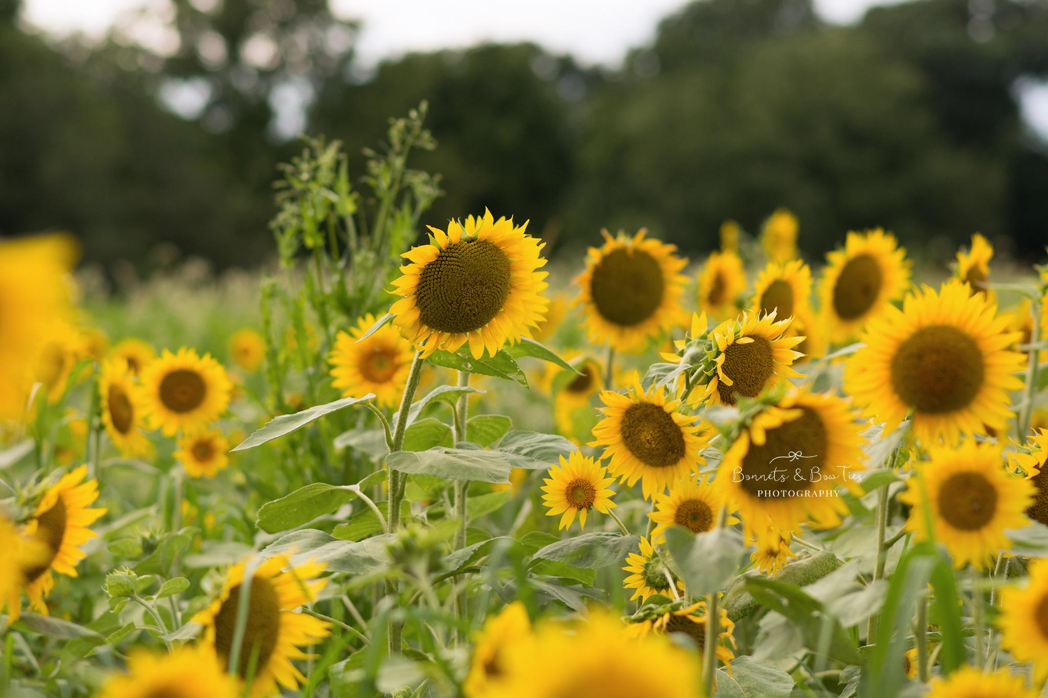 grey apple market sunflower field.jpg