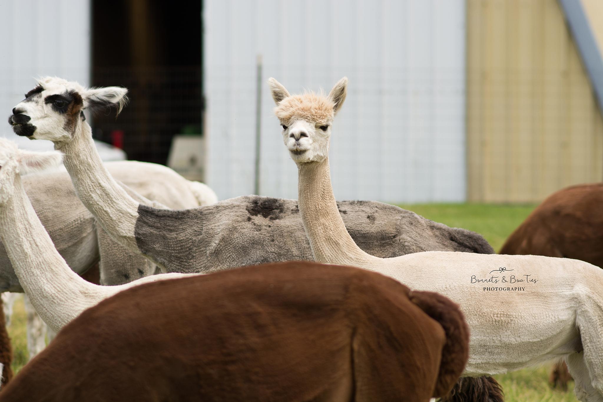 white alpaca.jpg
