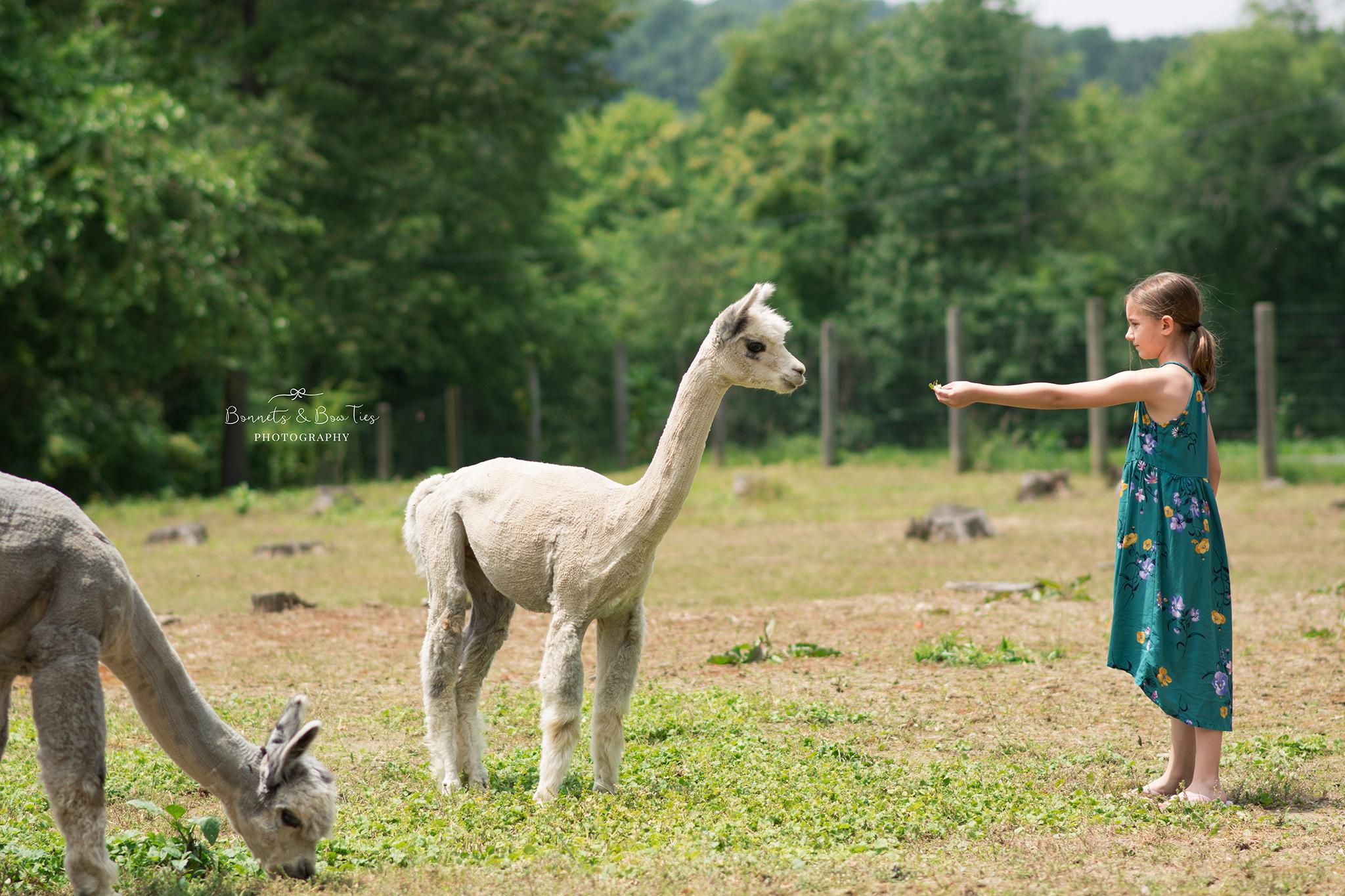 girl feeding white alpaca.jpg