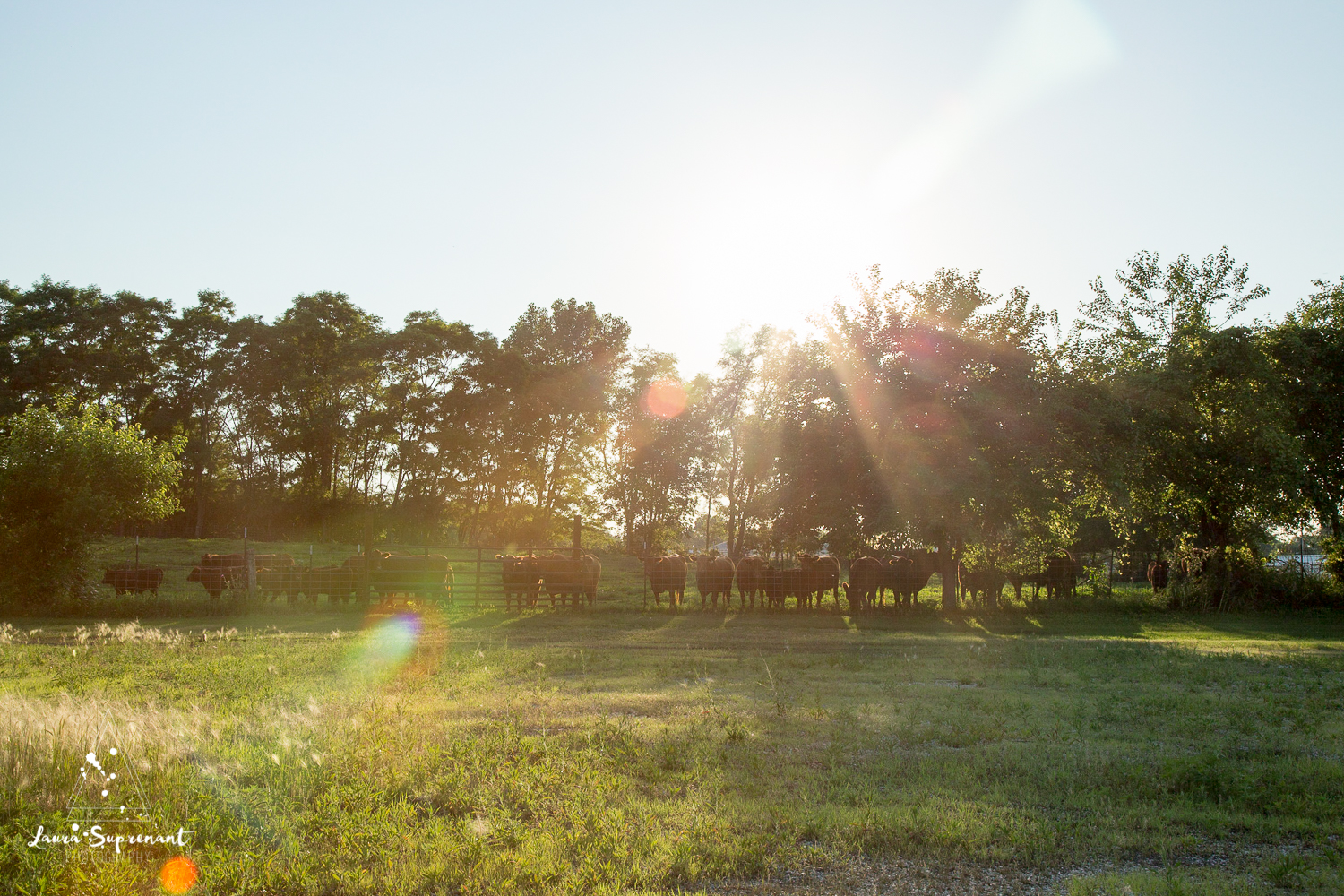 Hancock County Country Illinois Nature Outdoor Sunset Cow Cattle Cows Cat Sunflare Photography-5787.jpg