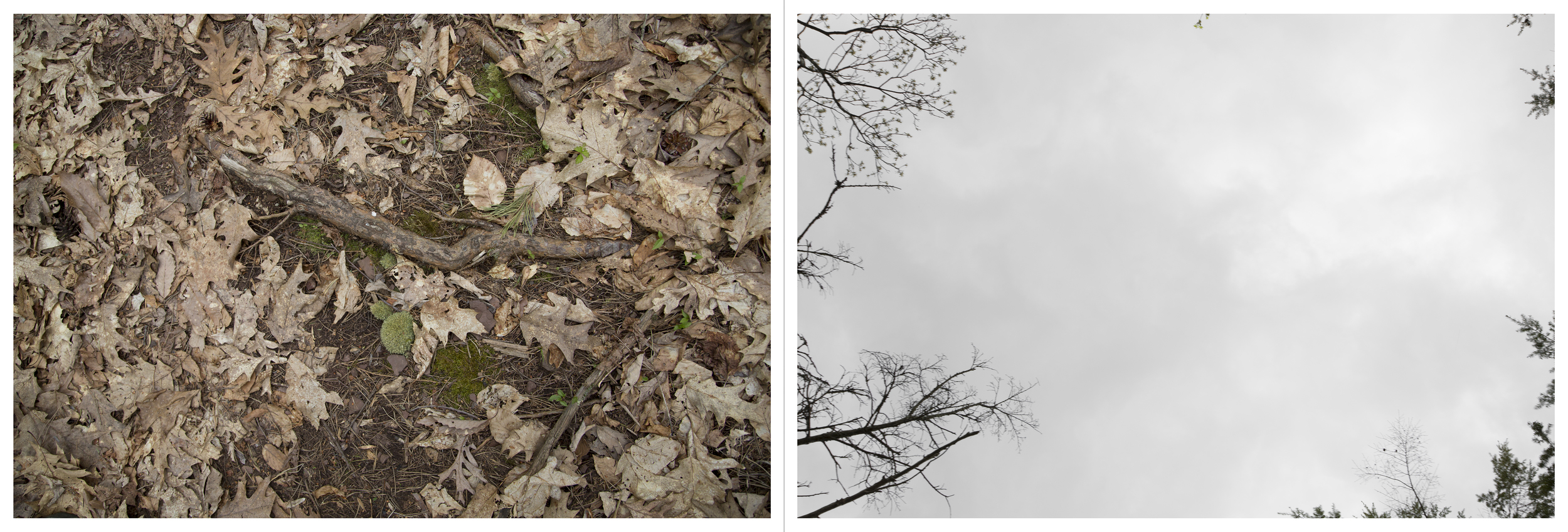 """And so on and so forth in much the same vein: Mayapples, Inkjet Photograph, 24"""" X 72,"""" 2015."""