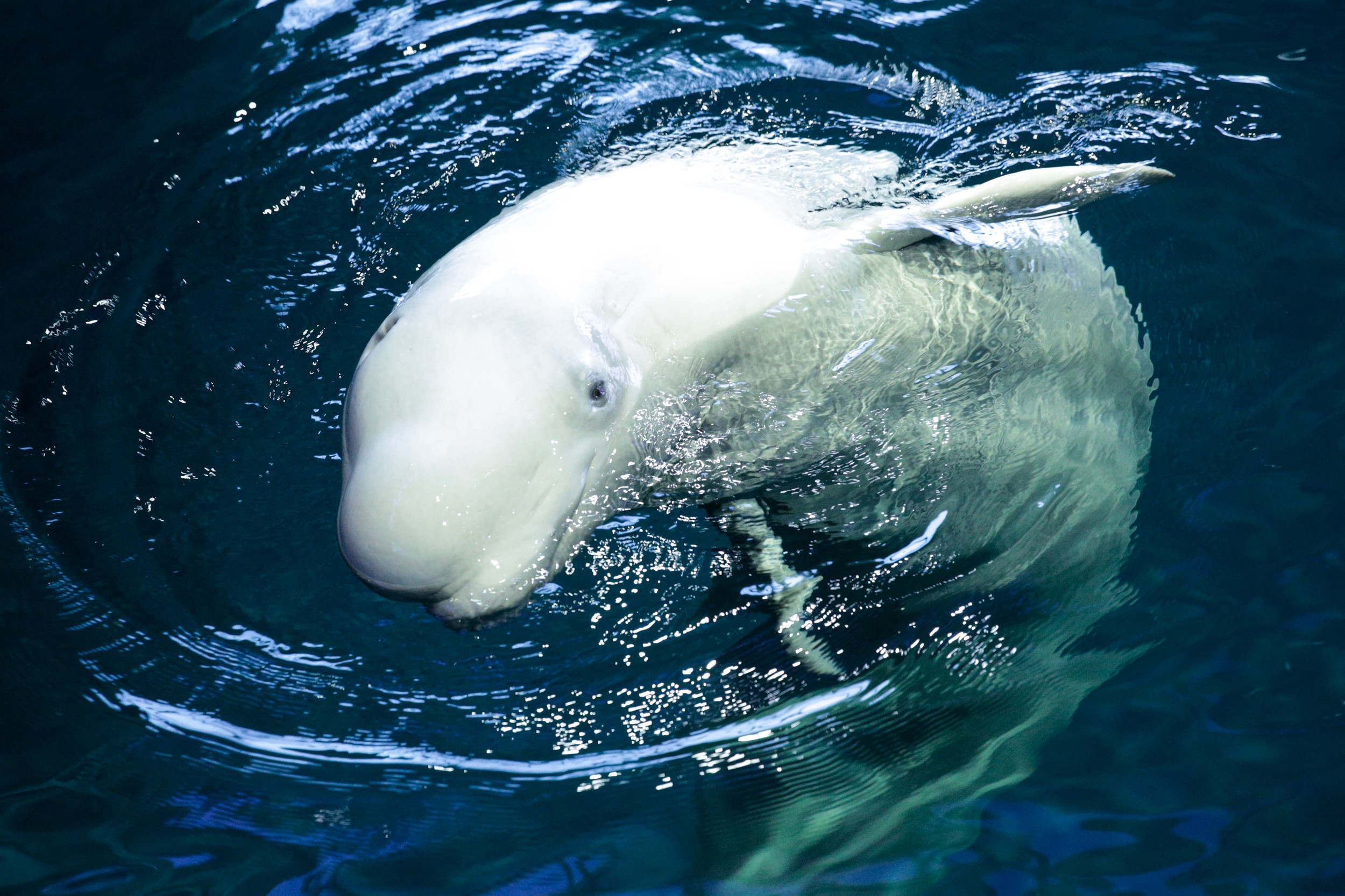 One of the Beluga whales at the Shedd Aquarium was showing of for the camera as photographed.