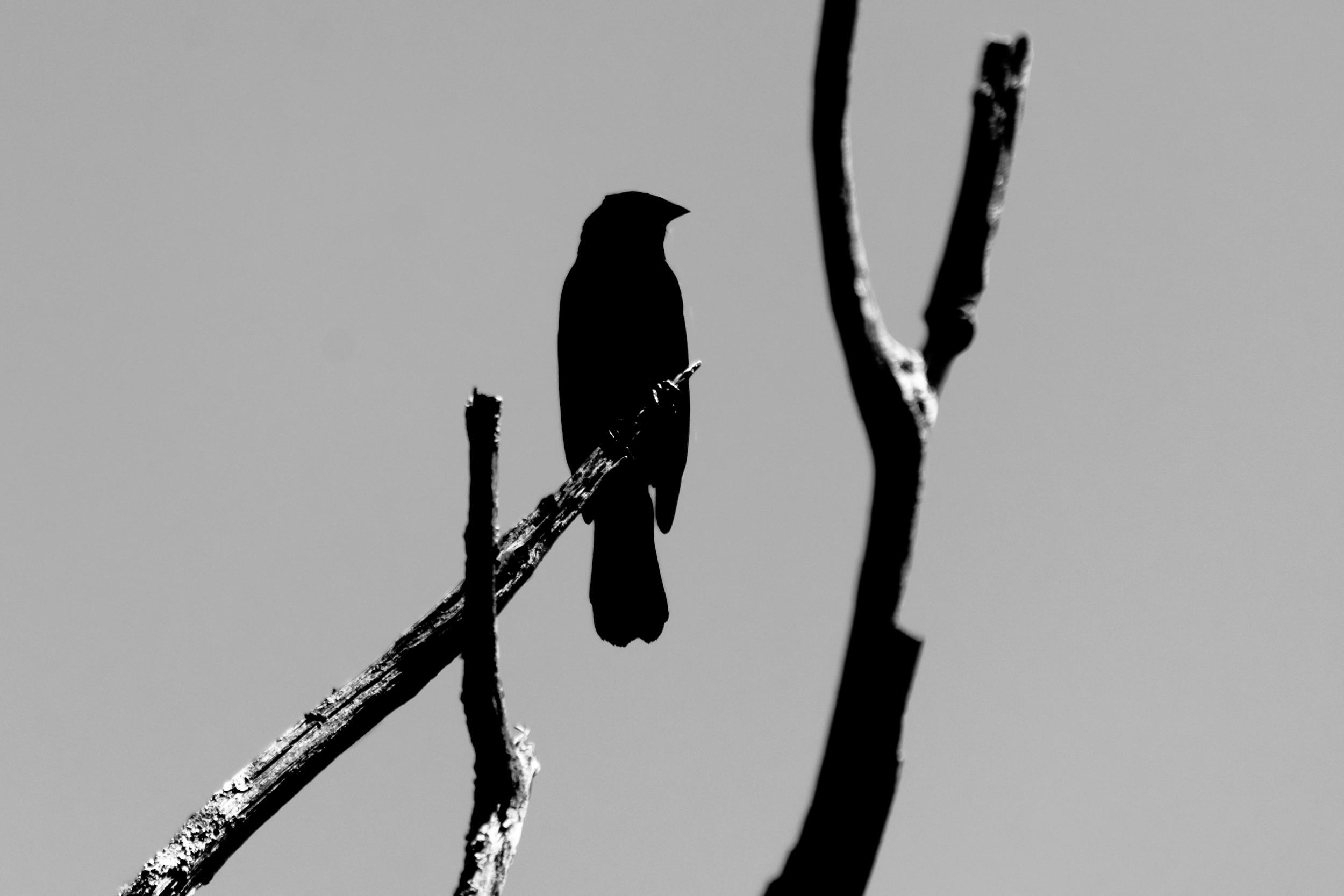a crow, 2015.