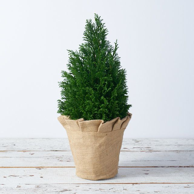 Minimalist Christmas Decorations:Potted Cedar Tree