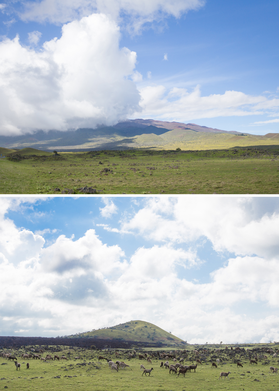 Views of either side of the Saddle Road; Mauna Kea (above) and goats grazing along the very base of Mauna Loa.