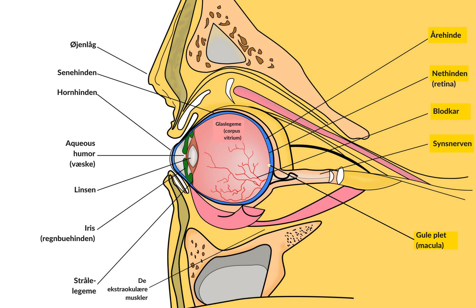 Øjets anatomi