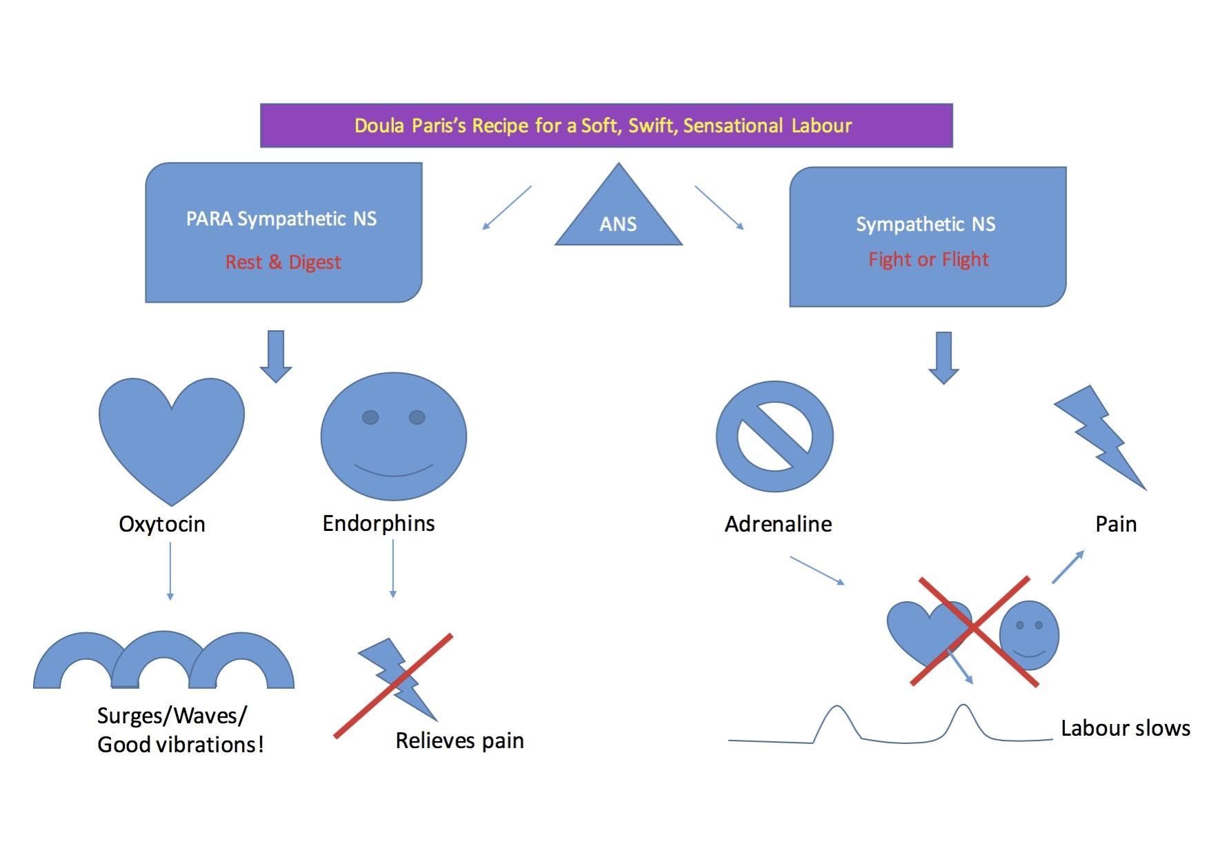 ANS = Autonomic Nervous System