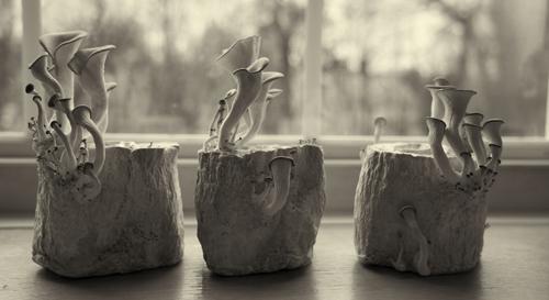 Art or oyster mushrooms?