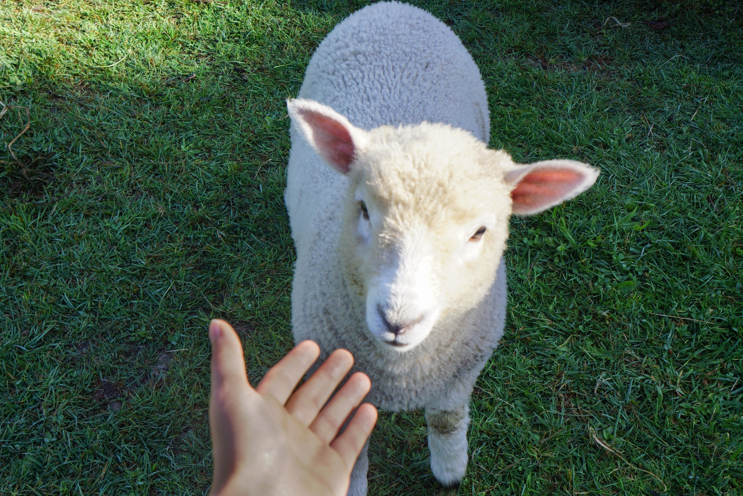 This little lamb almost loved me.
