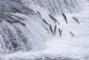 Salmon on their way to the barbecue