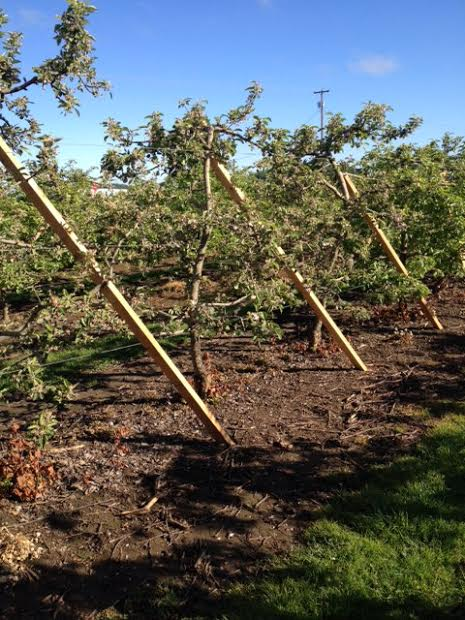 Sticks Straightening Apple Trees