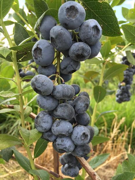 These are our Liberty blueberries, but our u-pick Bluecrop has even more!