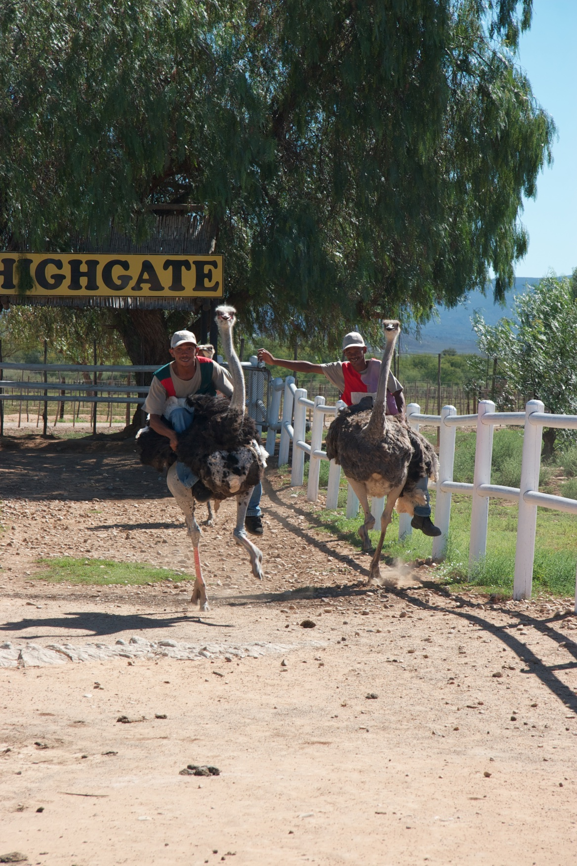 Ostrich race. Oudtshoorn, South Africa.