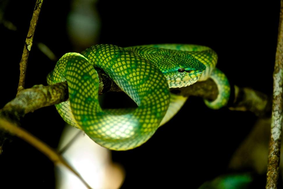 Green mamba, Borneo
