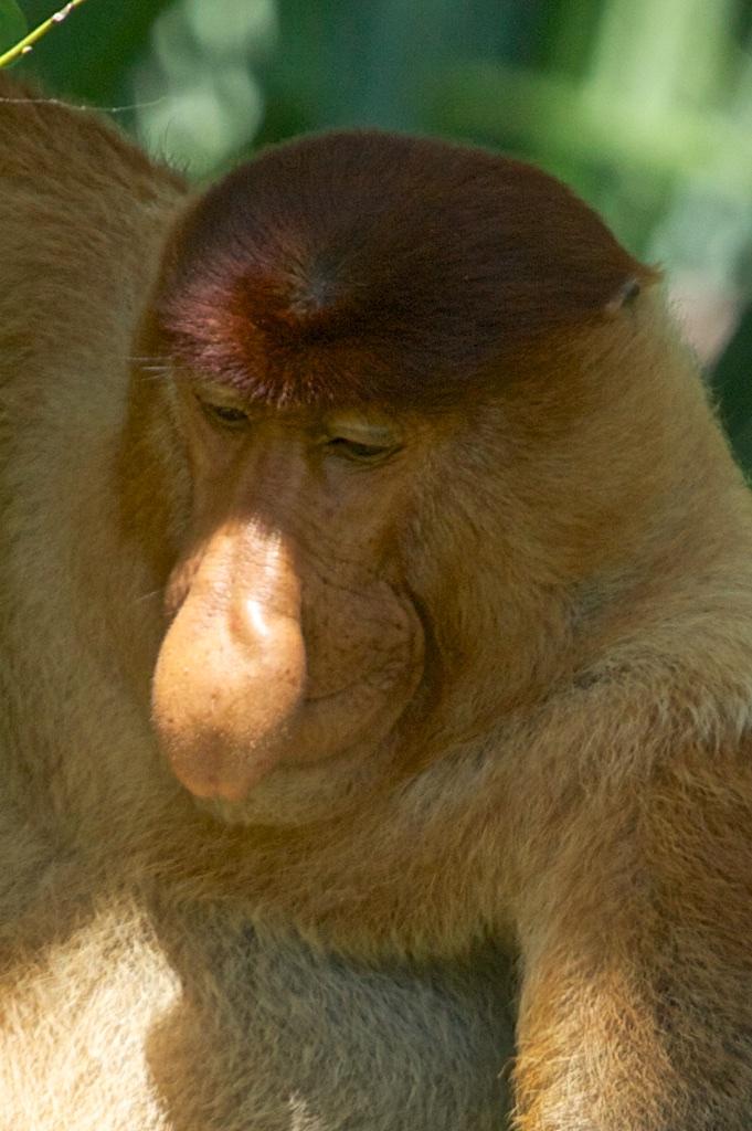 A male proboscis monkey, Borneo.