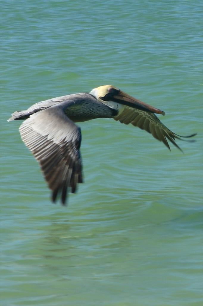 Pelican winging his way over the Caribbean.