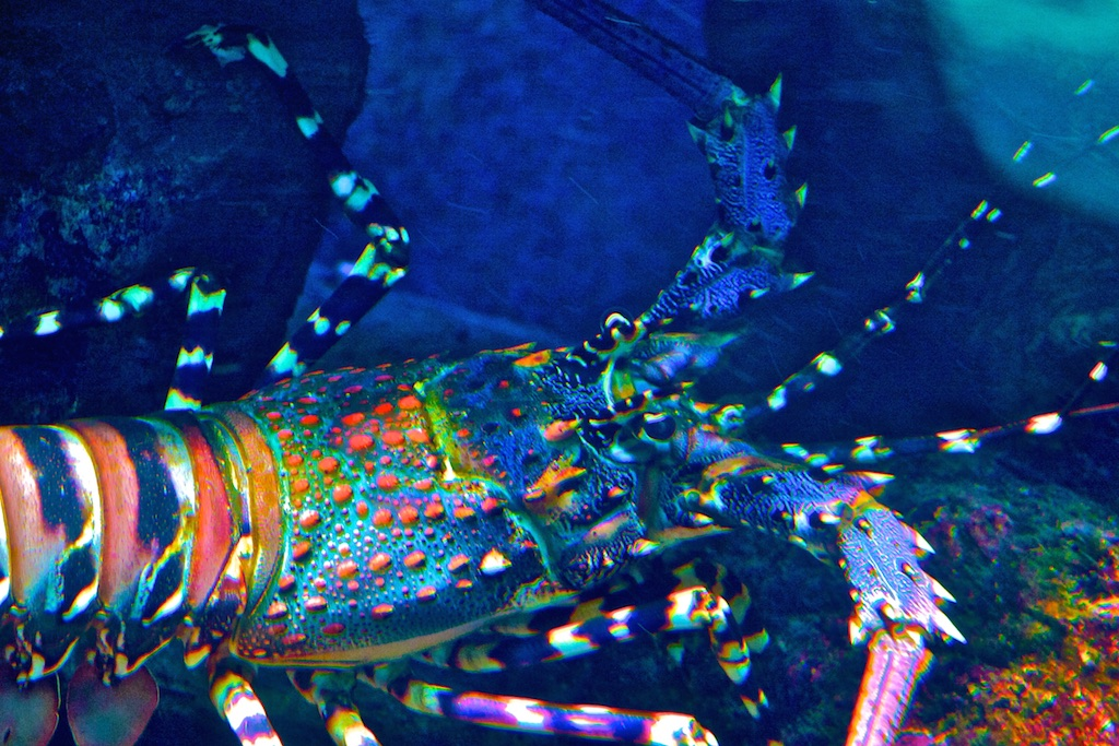 A multi-coloured lobster.