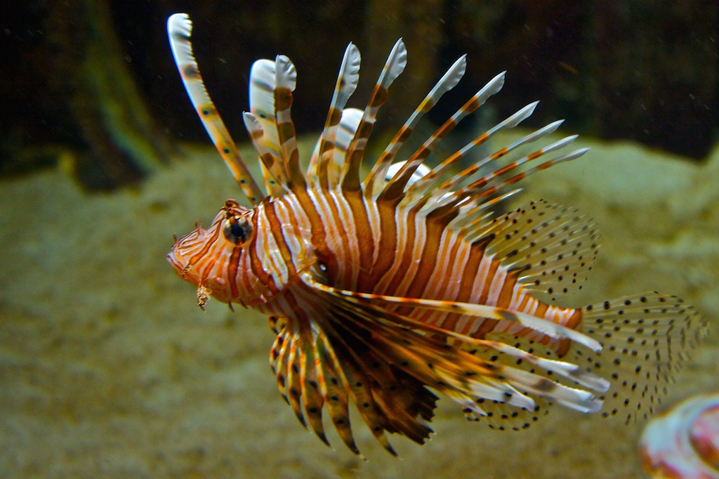 Scorpion fish.