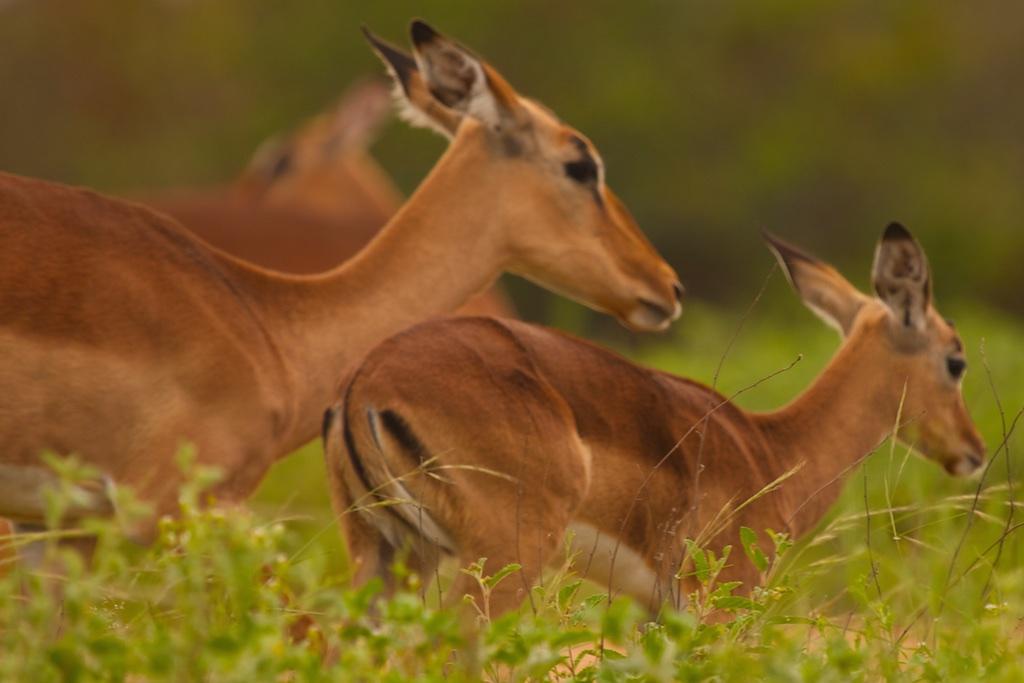 Fleeing impala antelopes.