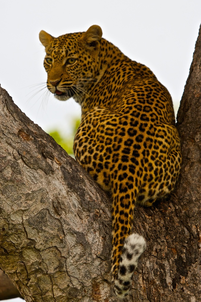 Leopard in the wild. Kruger National Park, South Africa.