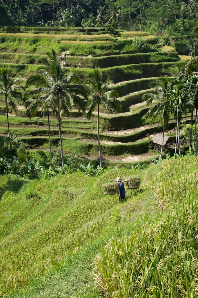 Harvest. Bali, Indonesia