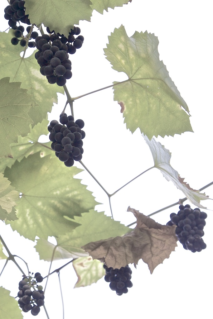 Autumn grapes destined for Eiswein.
