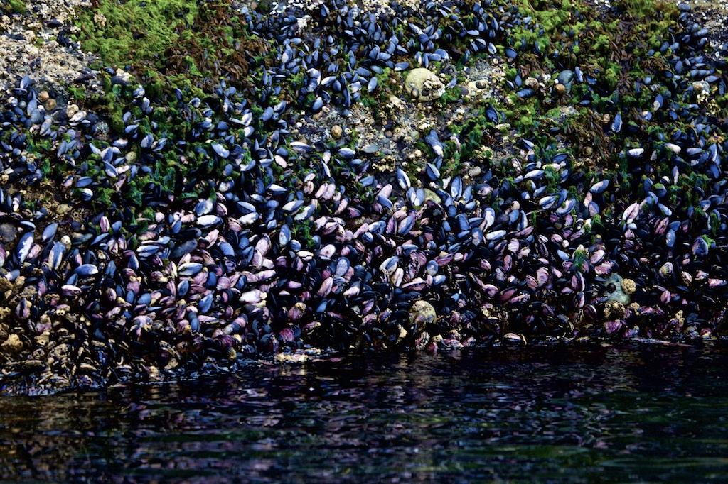 Mussels in abundance.