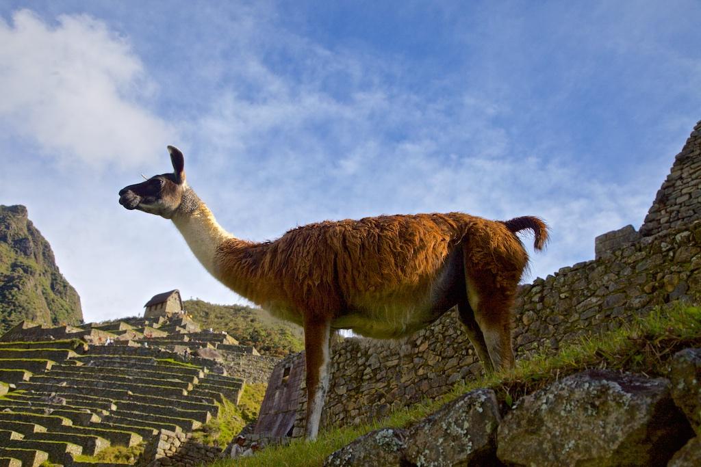 Guanaco in Machu Picchu, Peru.