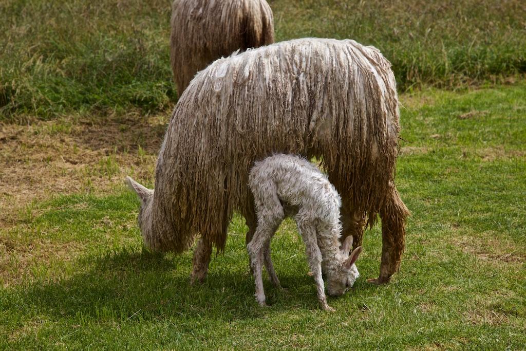 Llama with newborn, Peru.