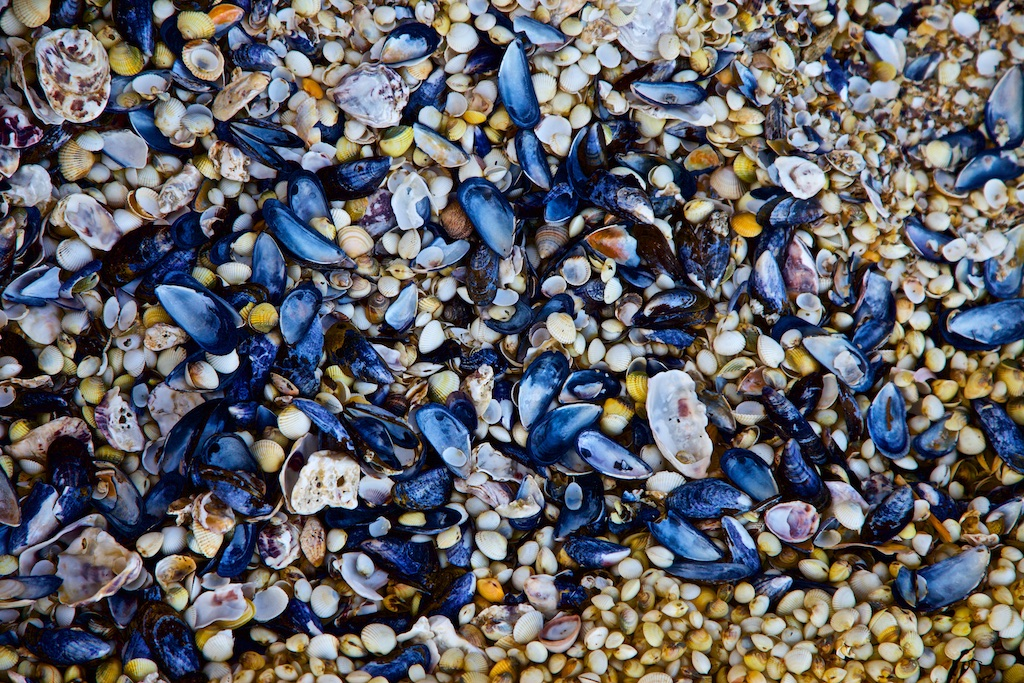 Blue mussel beach