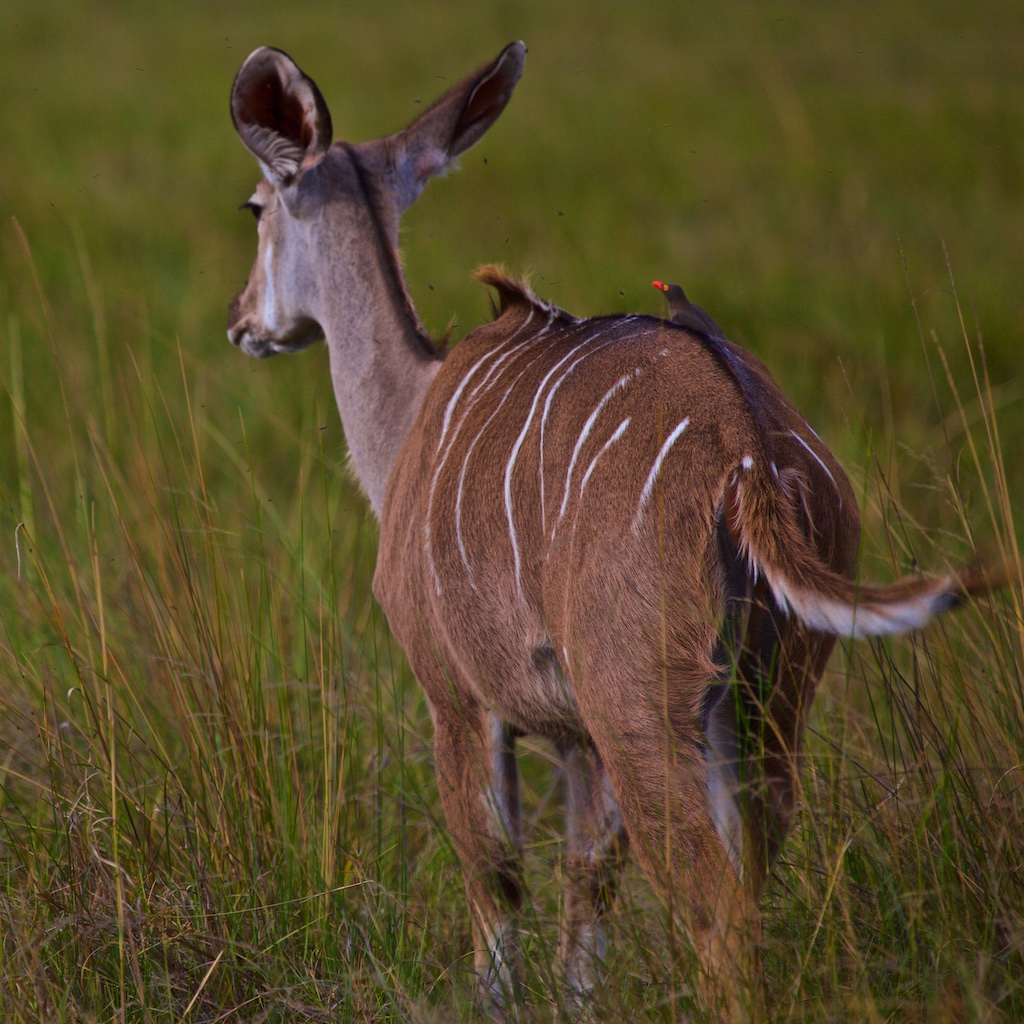 Kudu antelope, with kudus to the fellow getting the insects off his back.