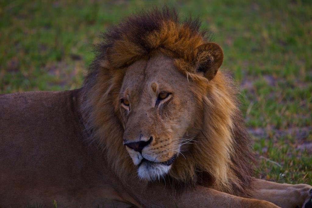 Male lion, Okavango Delta, Botswana.