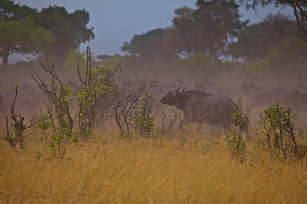 African buffalo herd.