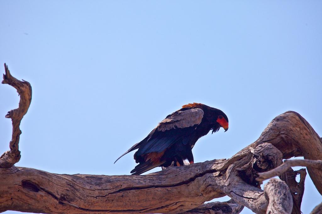 Bateleur, Botswana.
