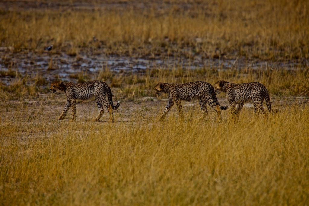 Cheetah cubs.