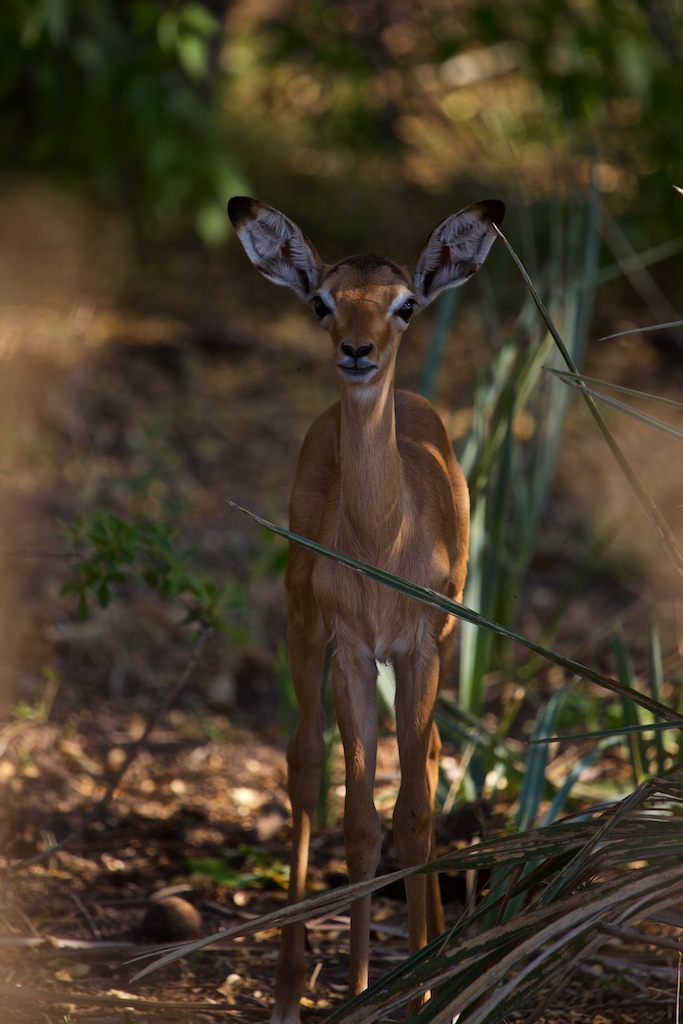 A springbok, all ears