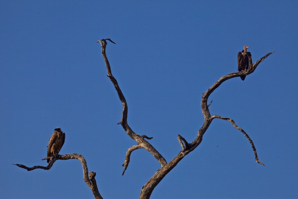 Lappet-faced vultures waiting for news about their next meal